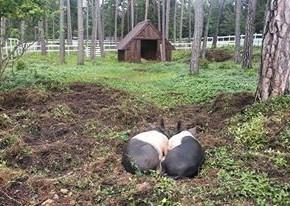 kaldhage-gard-eskelhem-djurpark-pigham-grisar-02