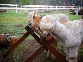 kaldhage-gard-eskelhem-djurpark-alpacka-01