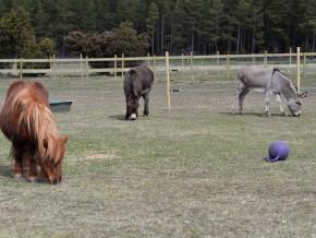 kaldhage-gard-eskelhem-djurpark-shetland-ponny-05