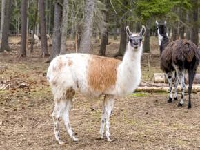 kaldhage-gard-djurpark-lama-5