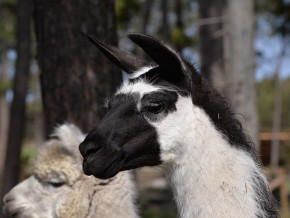 kaldhage-gard-djurpark-lama-7