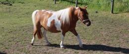 Amerikansk miniatyrhäst