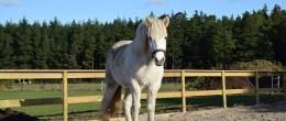 Islandshäst Spa från W-gård