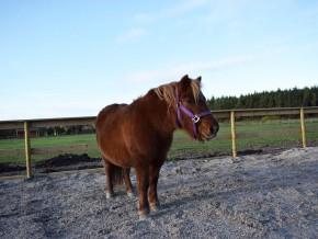 kaldhage-gard-eskelhem-djurpark-shetland-ponny-02