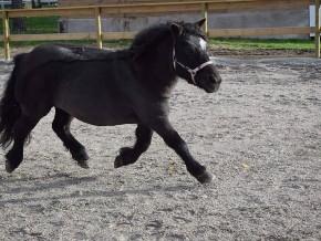 kaldhage-gard-eskelhem-djurpark-shetland-ponny-sto-05