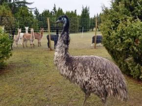 kaldhage-gard-djurpark-emu-04