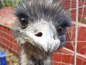 kaldhage-gard-djurpark-emu-05