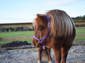 kaldhage-gard-eskelhem-djurpark-shetland-ponny-01