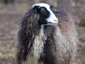 kaldhage-gard-eskelhem-djurpark-klovsjofar-far-22
