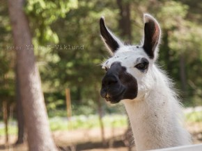 kaldhage-gard-djurpark-lama-3