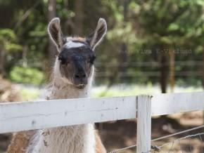 kaldhage-gard-djurpark-lama-2