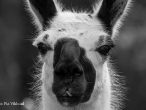 kaldhage-gard-djurpark-lama-1