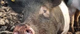 Piggham/Duroc gris