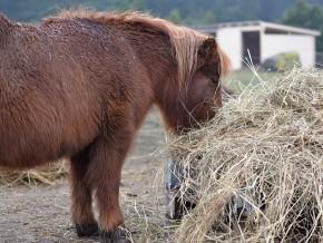 kaldhage-gard-eskelhem-djurpark-shetland-ponny-10
