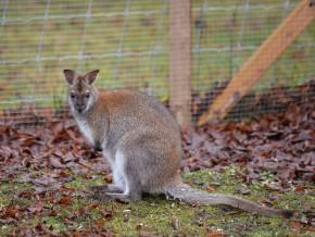 kaldhage-gard-djurpark-vallaby-29