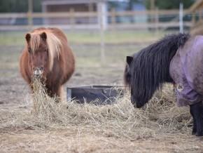 kaldhage-gard-eskelhem-djurpark-shetland-ponny-11