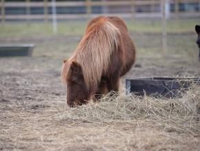 kaldhage-gard-eskelhem-djurpark-shetland-ponny-12