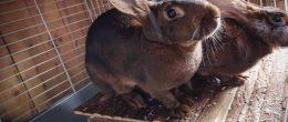 Belgisk hare